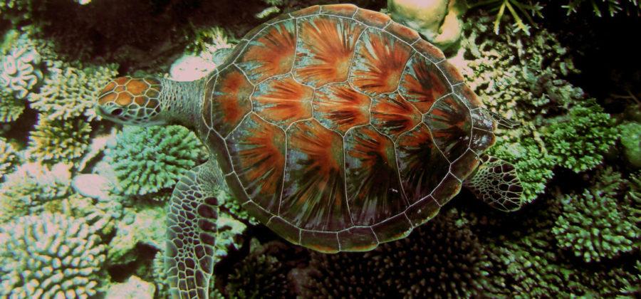 Safari Island Resort Tauchen Schildkröte
