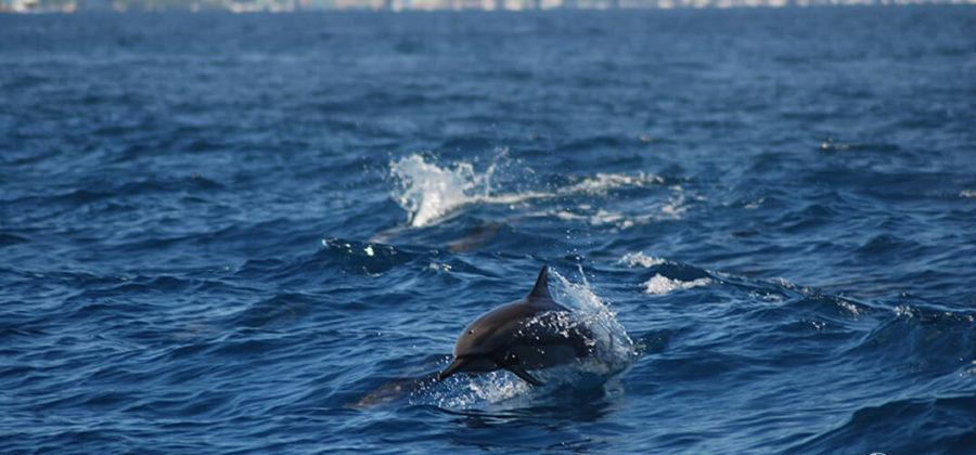Malahini Kuda Bandos Delfine